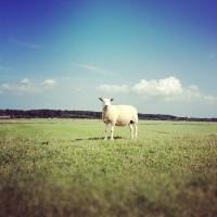 Schaapje op de dijk bij de Wadden, Terschelling (Instagram)