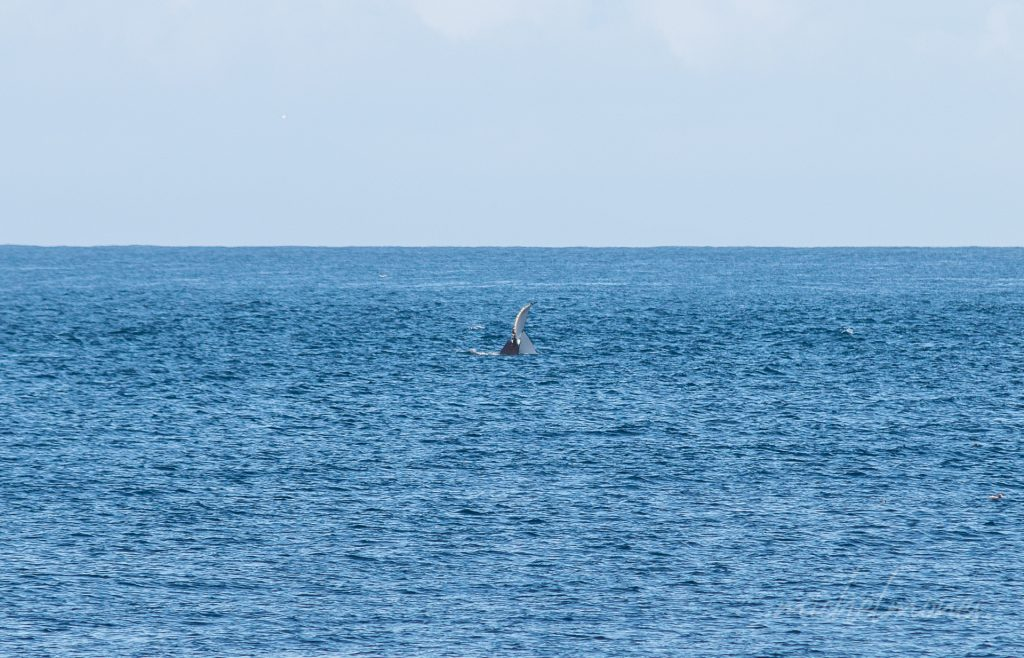 Toch nog een walvis!